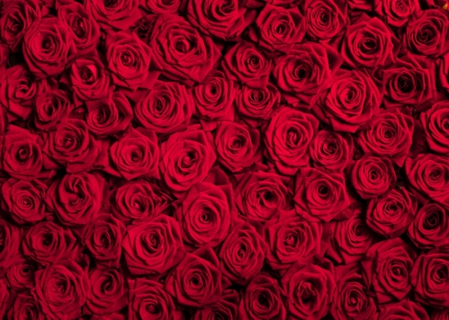 Red Rose Flower Background Valentine S Day Backdrop